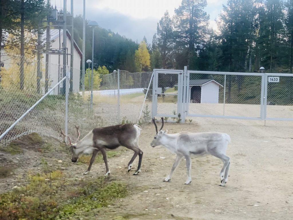 フィンランドのイナリで遭遇した野生のトナカイ