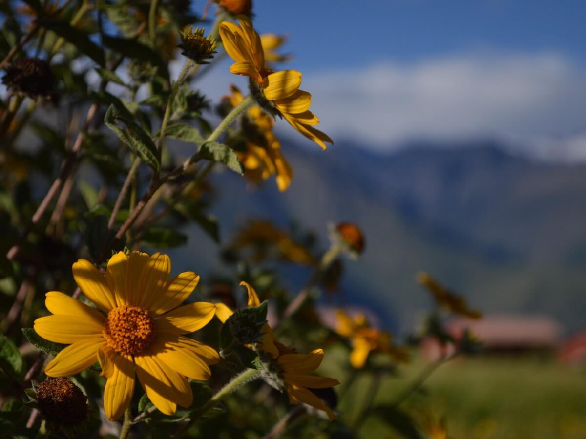 モライ遺跡に咲いていた黄色い花